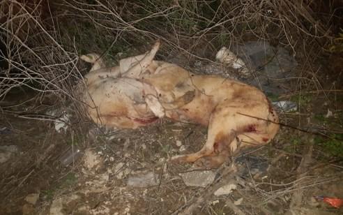 תיעוד מזעזע: תושב רמלה התעלל בשלושה כלבים ואחר כך הרג אותם באכזריות במכות מעדר