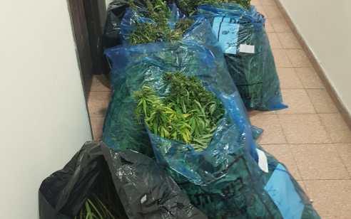 """81 ק""""ג של שתילי מריחואנה נתפסו בדירה בחולון"""