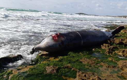 לוויתן בגודל 4.6 מטר אותר מת לאחר שנפלט בחוף דור הסמוך לחיפה