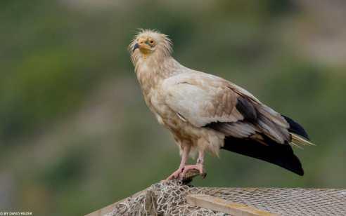 לראשונה מזה 50 שנה קינון של עופות דורסים מסוג רחמים זוהה בכרמל