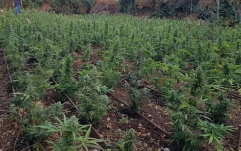 שדה לגידול סמים נחשף סמוך לרפת בירכא – 2 שוהים בלתי חוקיים נעצרו במקום