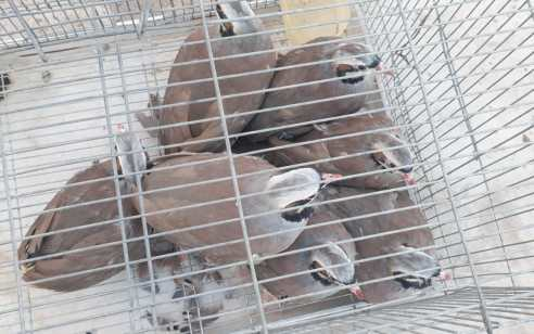תושב ברטעה המזרחית בן 51 נעצר בחשד להחזקת ציפורים מוגנות