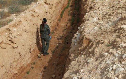 המשטרה תפסה כ- 2000 שתילי קנאביס בשטחים הפתוחים שבנגב והשמידו אותם במקום