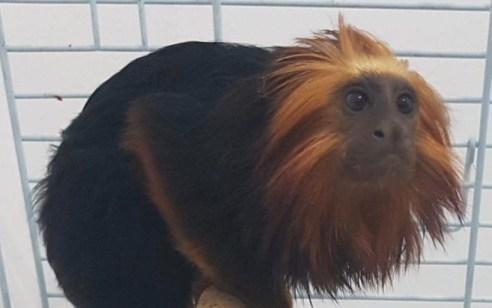 שלושה צעירים תושבי קרית אתא נעצרו בחשד שגנבו קוף בשווי אלפי שקלים מגן החיות בקרית מוצקין