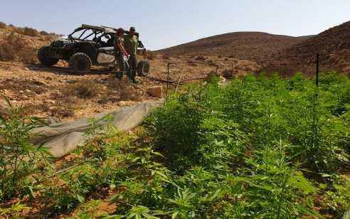 """שוטרי מג""""ב איתרו והשמידו בשטחי האש בדרום 41 חממות סמים  שבתוכן 23,450 שתילים של קנאביס"""