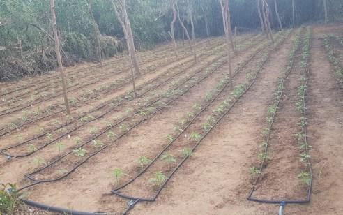 נחשפו חלקות אדמה ששימשו לגידול סמים בשטח פתוח סמוך לקיסריה
