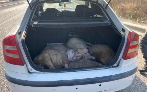 צפו בתיעוד: נעצרו 2 חשודים בגניבה והתעללות בבעלי חיים בצפון הארץ