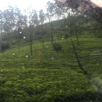 This whole hillside (except the trees of course) are tea bushes. The red speck is a woman picking tea...rain or shine, 20 kilos a day.