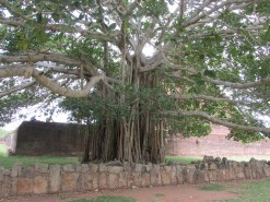 This tree! Supporting roots? cascade down from the branches to nestle in to the ground at the base.