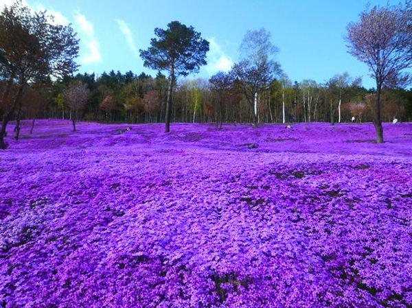 allabout.gr Απίστευτα μέρη Shibazakura Flowers, Takinoue Park, Japan