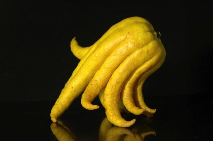 πιο παράξενα φυτά του κόσμου buddhas hand allabout.gr