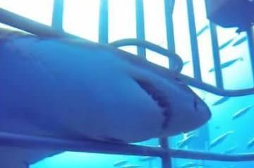 Μεξικό: Λευκός καρχαρίας εισχωρεί σε κλουβί με δύτες την στιγμή που ο «συνεργός» του κάνει αντιπερισπασμό