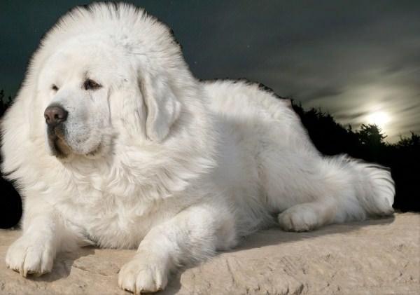 ακριβότερο είδος σκύλου