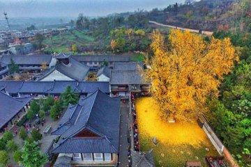Δένδρο 1.400 ετών σε βουδιστικό ναό στρώνει κάθε χρόνο χρυσό «χαλί» για το τέλος του φθινοπώρου