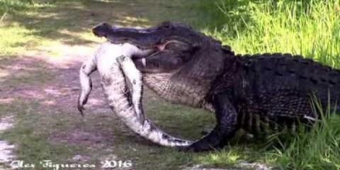 Τεράστιος αλιγάτορας καταβροχθίζει μικρότερο αλιγάτορα στη Φλόριντα