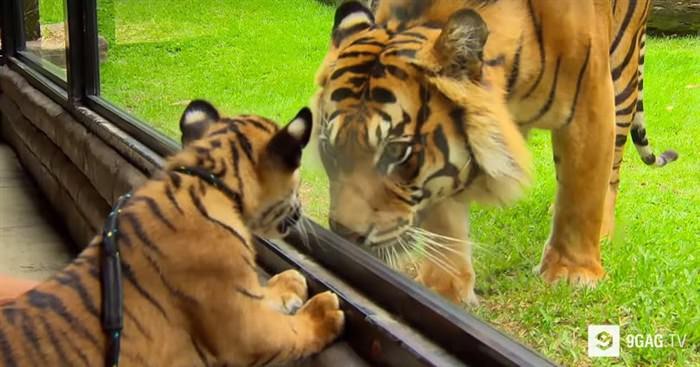 tigrh (700 x 367)