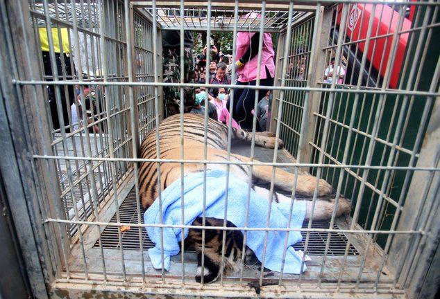 κουφάρια από τίγρεις βρέθηκαν σε δημοφιλή ναό της Ταϊλάνδης 11