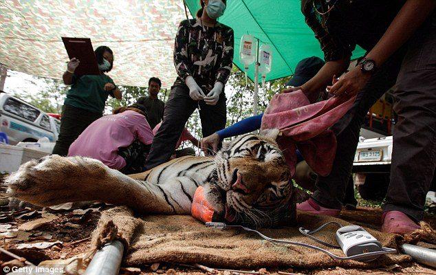 κουφάρια από τίγρεις βρέθηκαν σε δημοφιλή ναό της Ταϊλάνδης 17