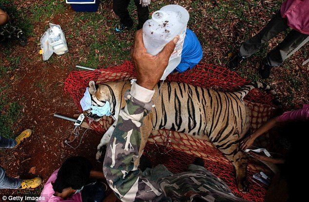κουφάρια από τίγρεις βρέθηκαν σε δημοφιλή ναό της Ταϊλάνδης 21