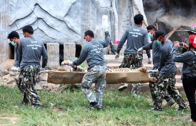 κουφάρια από τίγρεις βρέθηκαν σε δημοφιλή ναό της Ταϊλάνδης 3