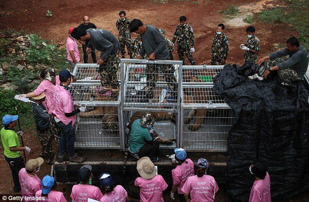 κουφάρια από τίγρεις βρέθηκαν σε δημοφιλή ναό της Ταϊλάνδης 7