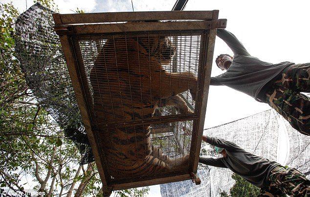 κουφάρια από τίγρεις βρέθηκαν σε δημοφιλή ναό της Ταϊλάνδης 8
