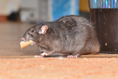 Mice Diseases   Common Rat Diseases Transmitted to Humans