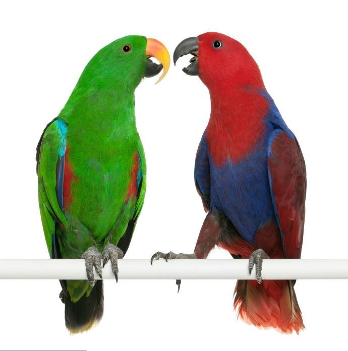 Eclectus Parrot (Eclectus roratus) Pair