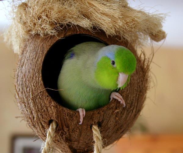 Pacific Parrotlet (Forpus coelestis)