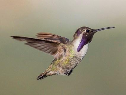 hummingbird diagram of color apollo rocket costa s celebrate urban birds adult male