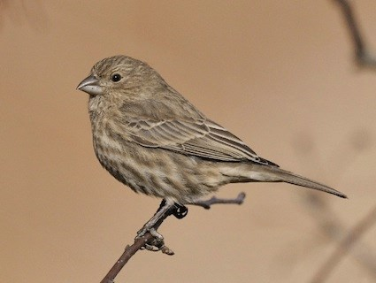 Common Redpoll Identification All About Birds  Cornell