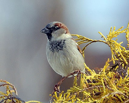 House Sparrow Identification All About Birds  Cornell