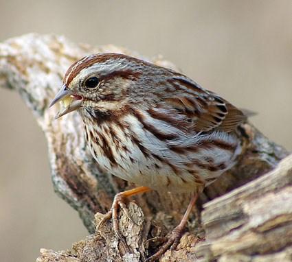 Savannah Sparrow Identification All About Birds