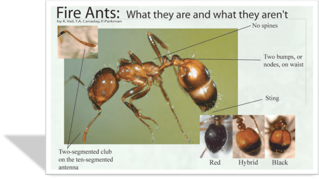 Variations-of-Imported-Fire-Ant-Species