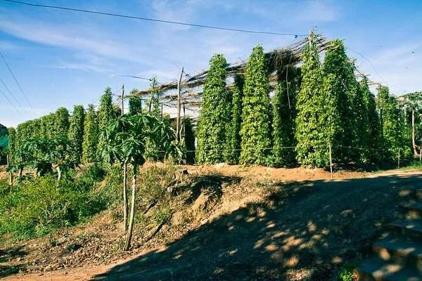 перец в Камбодже