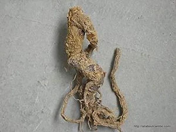 женьшень в камбодже