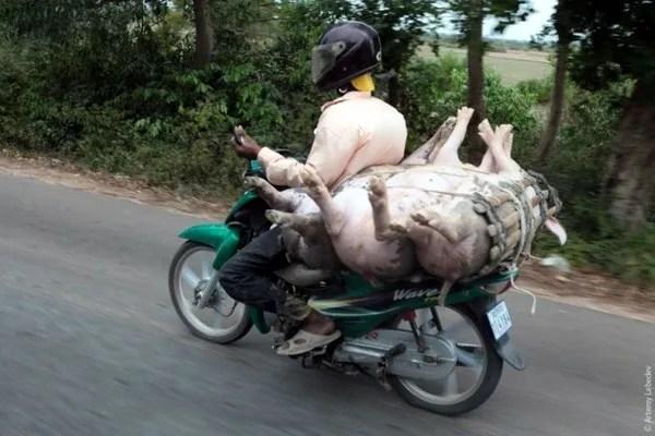 свиньи в камбодже