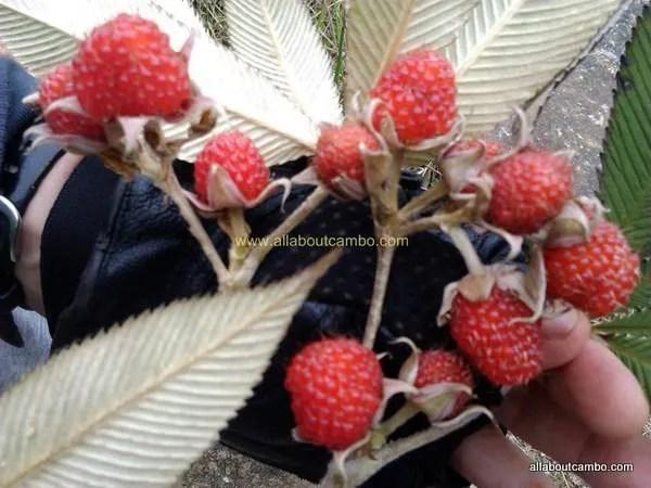 ягоды на борнео