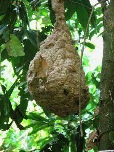 опасные насекомые в Камбо