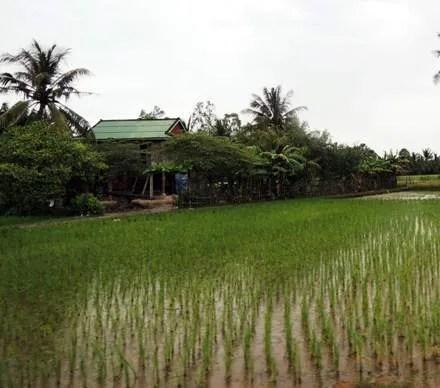 как растёт рис в Камбодже