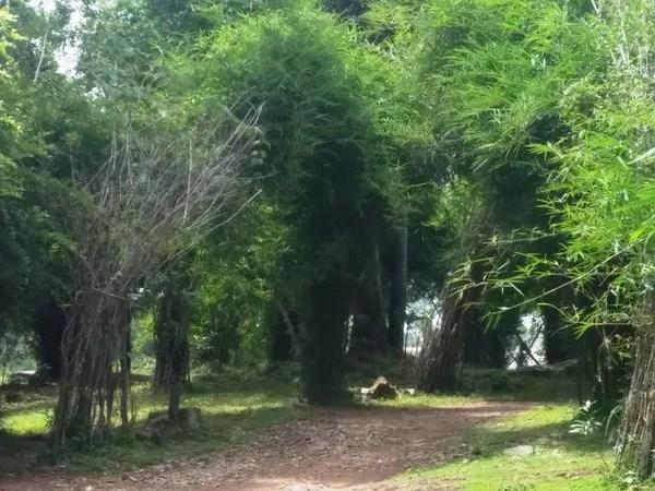 бамбуковые заросли Лаос