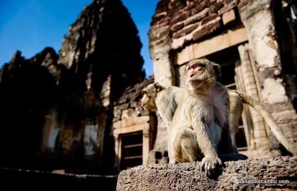 обезьянье царство лопбури