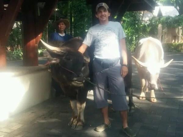 Быки в Тайланде