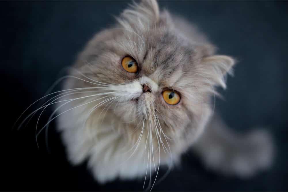 Gato roncando cara de gato persa