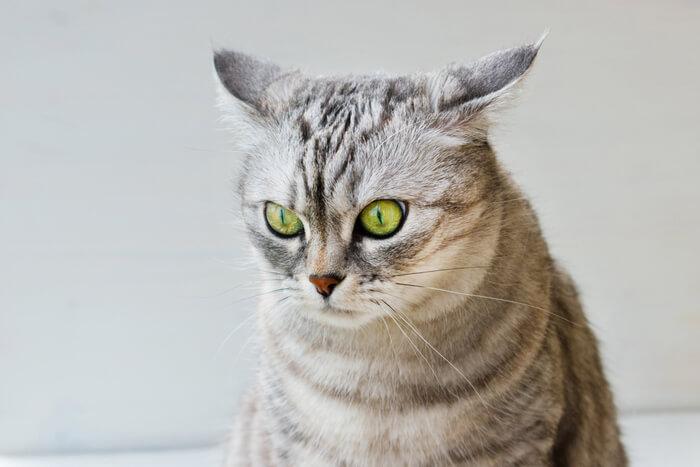 Causas de la secreción del oído en los gatos