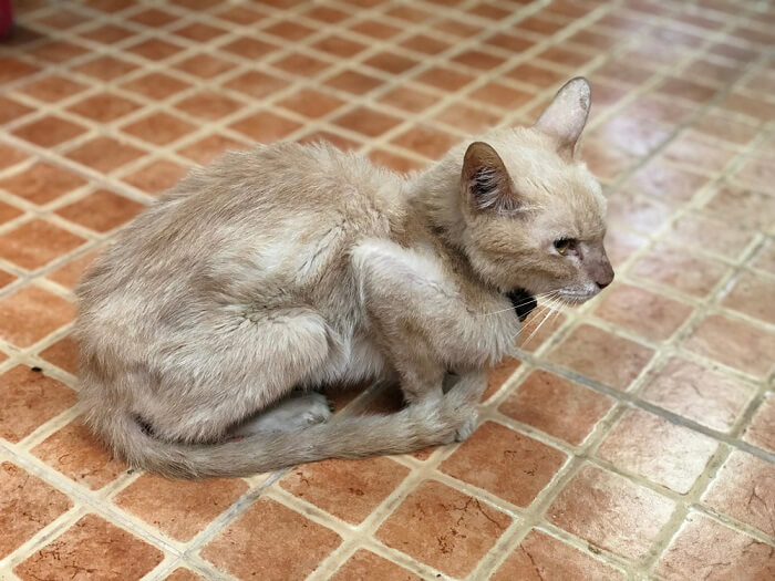 gato flaco