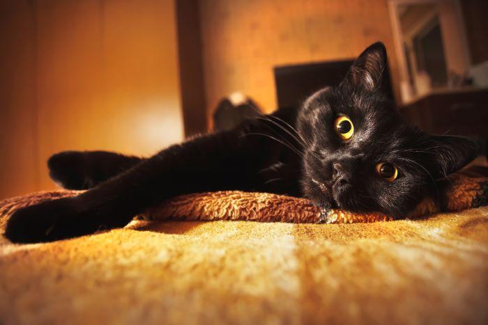 gato curioso mirando