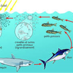Great White Shark Food Chain Diagram Reversing Contactor Wiring It Goes From Energy The Sun Plankton Producer Primary Ocean Fish Secondary Consumer Small And Large Quantery