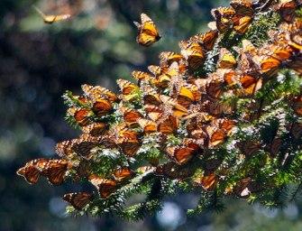 Billionaire Carlos Slim's Foundation Concerned With Sharp Decline Of Monarch Butterflies' Population