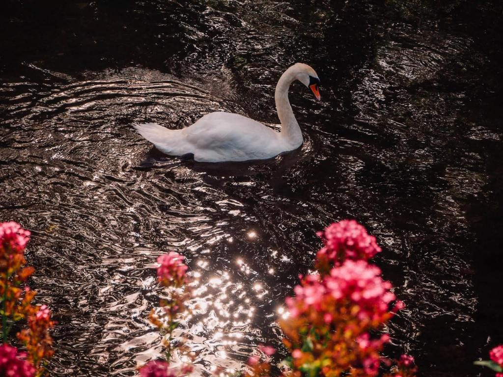 Babbling brooks and beautiful swans in Bibury one of the Cotswolds best villages